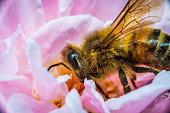 Macro shot of a bee busy foraging for pollen and nectar in a fully blossomed flower.