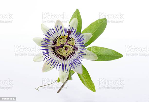 Macro shot of a blue passion flower passiflora picture id516164837?b=1&k=6&m=516164837&s=612x612&h=7owpcq56nzxp0kjvehbt3vsol28w3wx2kdhg9w1klj4=