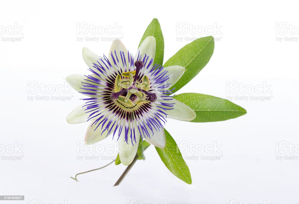 macro shot of a blue passion flower passiflora stock photo
