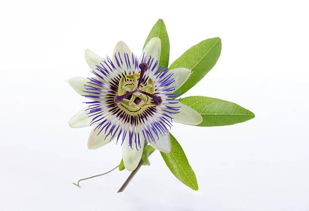 macro shot d'une fleur de la passion bleue passiflora - fruit de la passion photos et images de collection