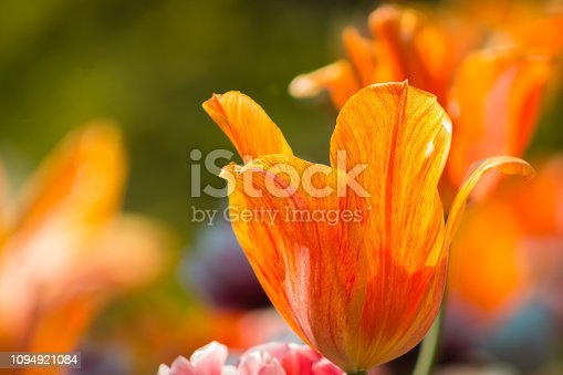 Macro shot of a bright orange and red tulip in bloom on a sunny May day