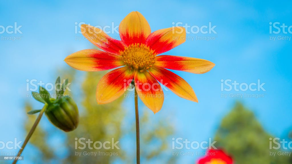 A macro shot of a dahlia in full bloom in the garden. stock photo