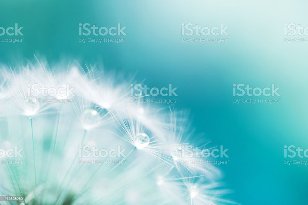 macro shot of a dandelion stock photo