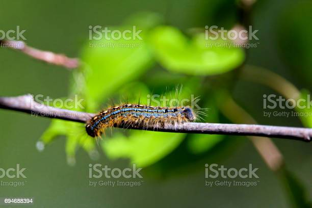 Macro shot of a forest tent caterpillar with leaves in the background picture id694688394?b=1&k=6&m=694688394&s=612x612&h=8gpclc8vwfyg0xzes7 xu tw z2wxaayecjnmj6pjhm=