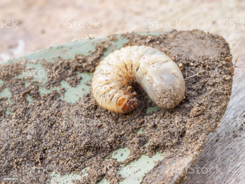 Macro Shot Of A Grub Worm On Shovel Stock Photo Download Image