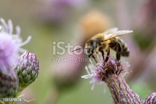 Honey bee on a purple thistle blossom collecting pollen and looking into the camera. Concepts of beekeeping, natural pollination, endangered ecosystem because of bee mortality. Macro shot, copy space.