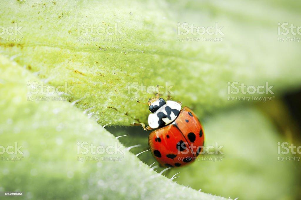 Macro shot of a ladybug royalty-free stock photo