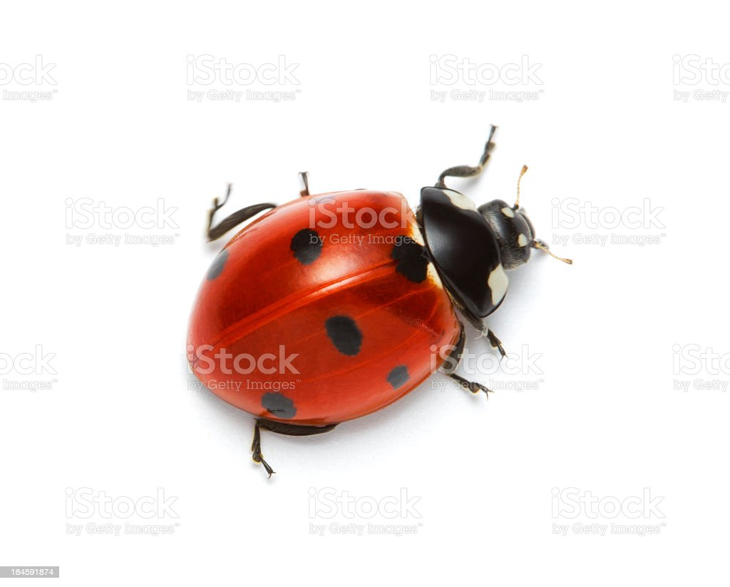 Macro shot of a red ladybug with black spots stock photo