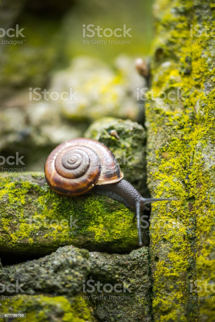 Macro shot of a snail on a mossy stone wall stock photo