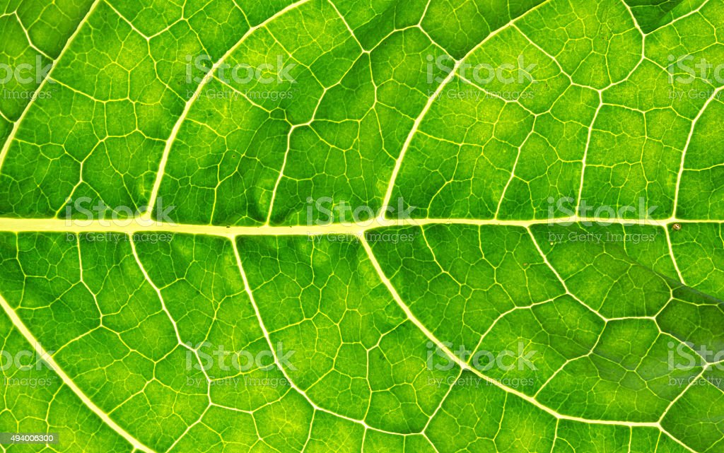 Macro shot of a vibrant green cabbage leaf stock photo