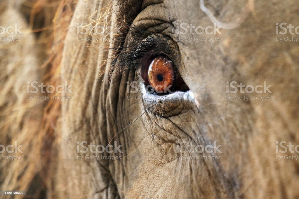 Macro shot of an elephant\'s eye, where wrinkles from the age of the...