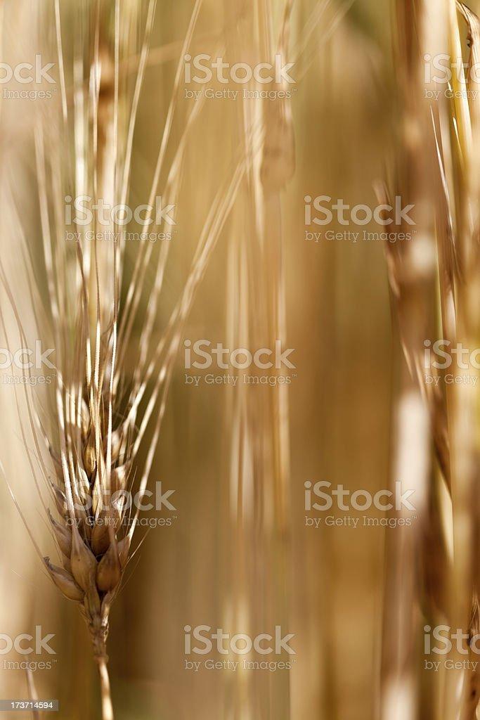 Macro Shot Of Barley Ear royalty-free stock photo