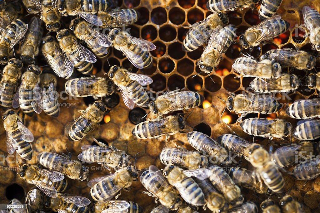 Macro shot of bees swarming on a honeycomb royalty-free stock photo