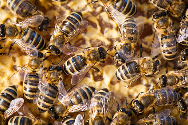 macro shot of bees swarming on a honeycomb - swarm of insects stock photos and pictures