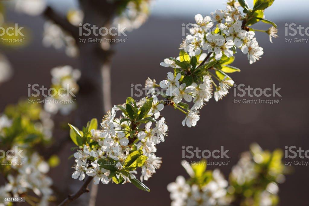 Macro shot of blooming in spring flowers of peach tree royalty-free stock photo
