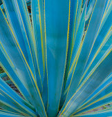 Agave cactus with yellow striped edge, close up ribs of cactus
