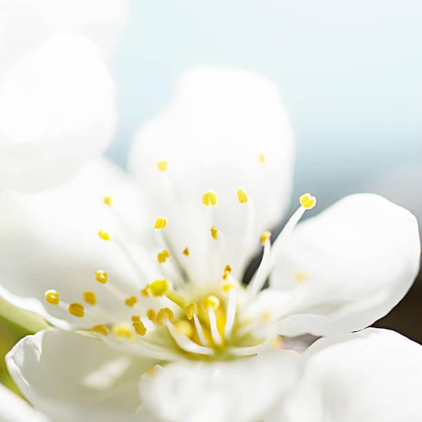 Macro shot of cherry blossom – Foto