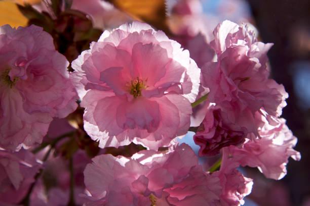 macro shot of cherry flower stock photo