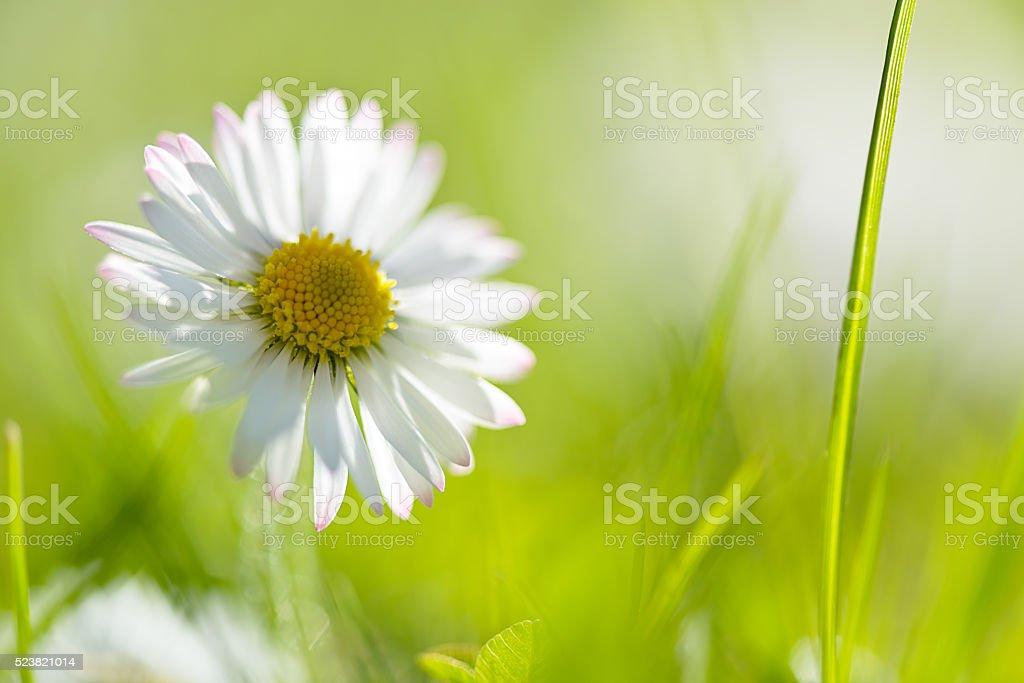 Macro Shot Of Daisy Flower stock photo
