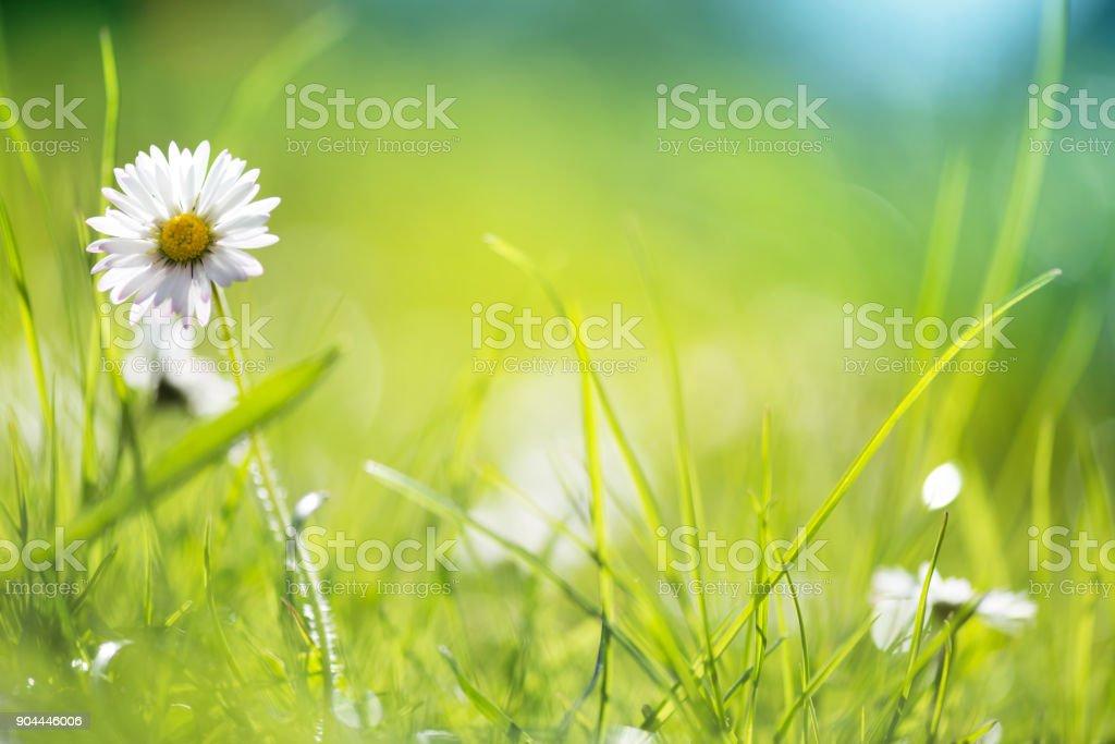 Macro shot of daisy flowers stock photo
