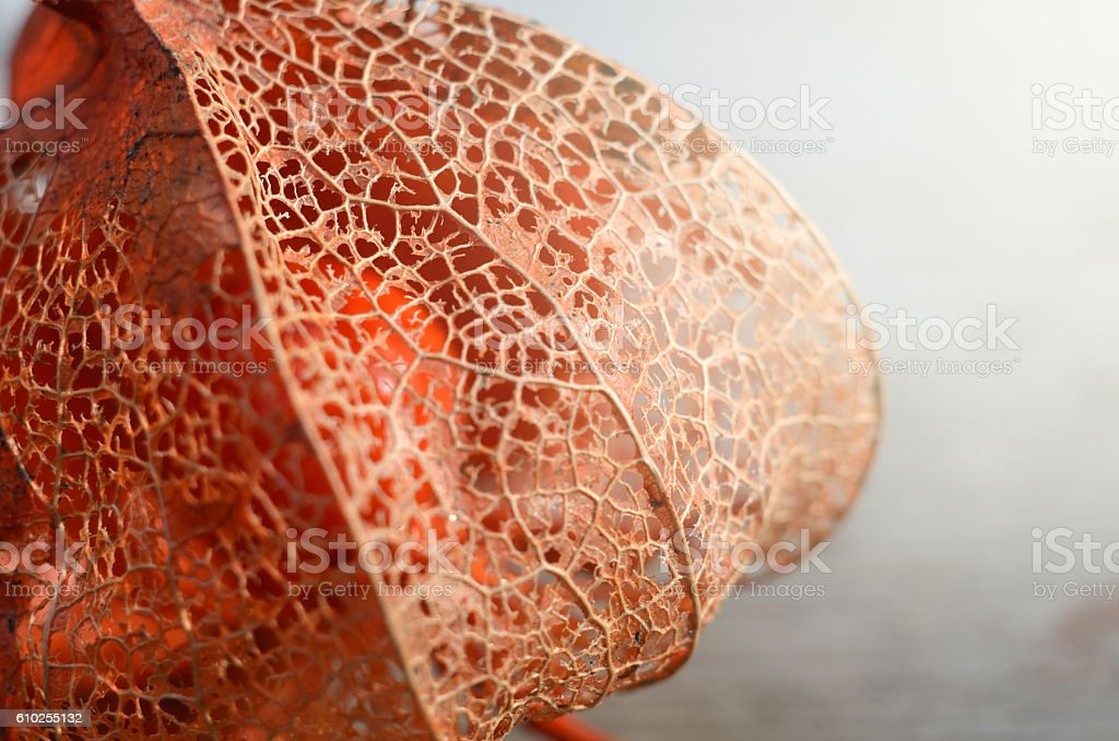 Macro shot of dry cape Gooseberry or Physalis. Autumn flower stock photo