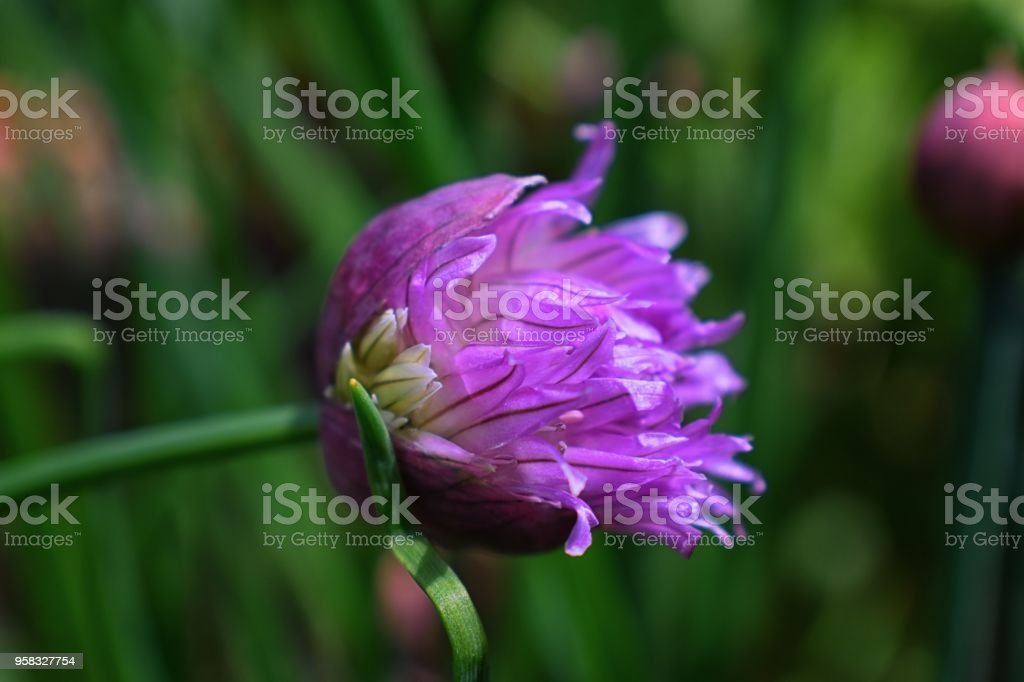 Macro shot of flower in full bloom phase Grass Plant chives (Allium schoenoprasum). Detail of the petals of this flower with bright colors in South Jordan, Utah. stock photo
