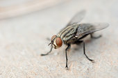 istock Macro shot of fly. Live house fly 1179626962