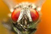 A macro shot of fly . Live housefly .Insect close-up. macro sharp and detailed fly compound eye surface.