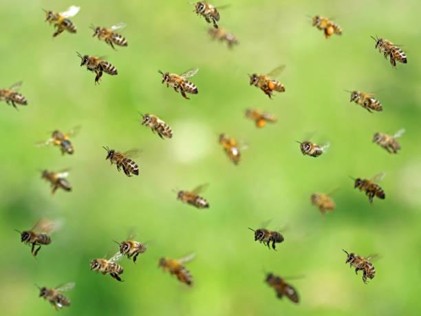 disparo macro de enjambre de abejas voladoras después de recolectar polen en primavera sobre el bokeh verde - bee fotografías e imágenes de stock