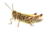 Macro shot of grasshopper isolated over white background.