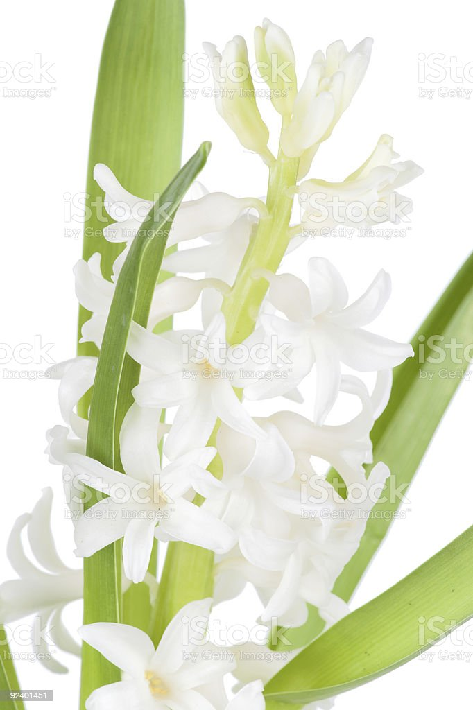 Macro shot of hyacinth flower on white royalty-free stock photo