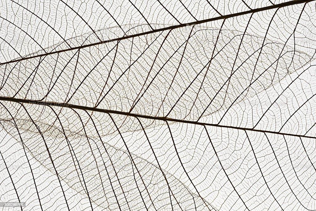 Macro shot of leaf vein skeleton on white background stock photo