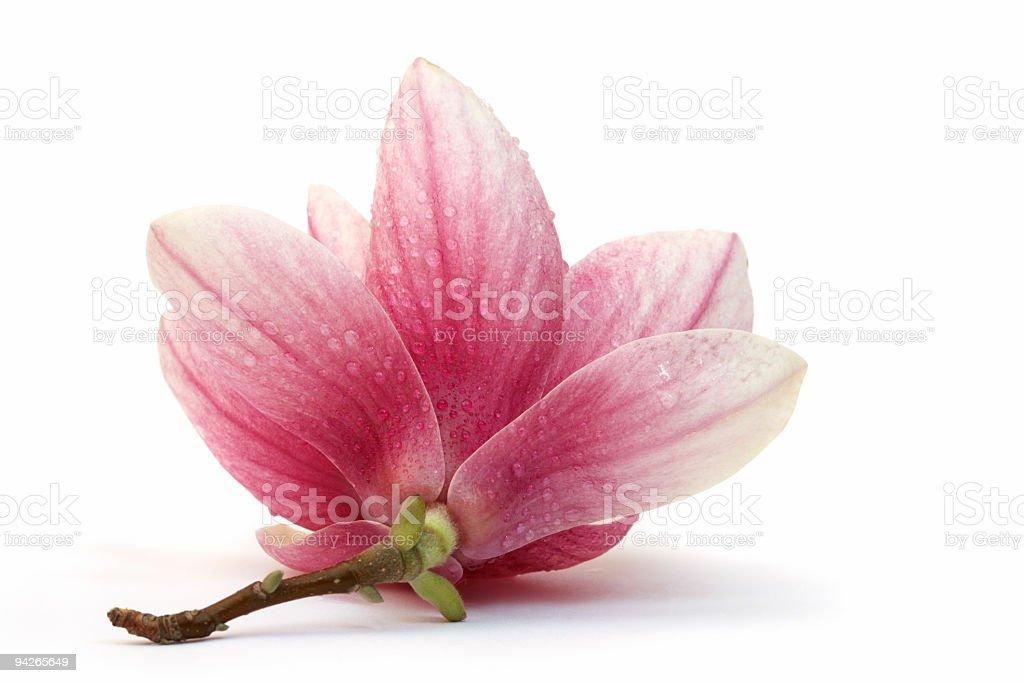 Macro shot of magnolia over white background stock photo