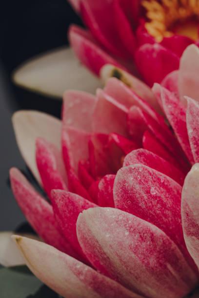 macro shot of pink masaniello water lily (nymphaea masaniello) flowers. - masaniello foto e immagini stock
