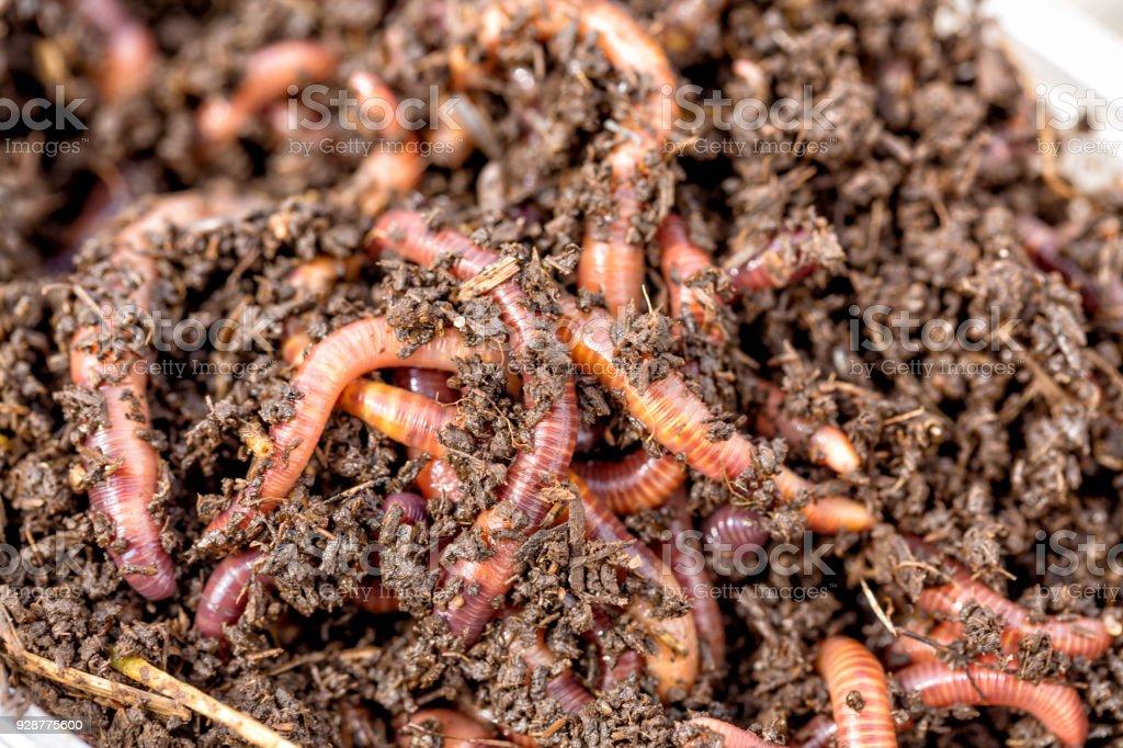Makroaufnahme Der Rote Würmer Dendrobena In Gülle Regenwurm Lebende ...