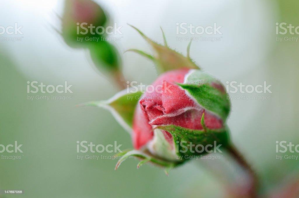Macro shot of rose stock photo