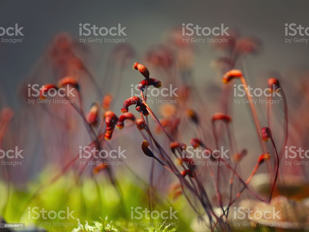 macro shot of some moss spores stock photo