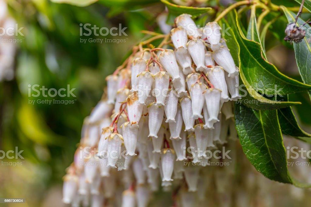 A macro shot of the white bellshaped flowers of a pieris stock photo a macro shot of the white bell shaped flowers of a pieris royalty mightylinksfo