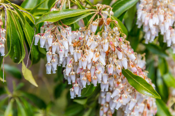 Royalty free pink bell shaped flowers pictures images and stock a macro shot of the white bell shaped flowers of a pieris stock photo mightylinksfo