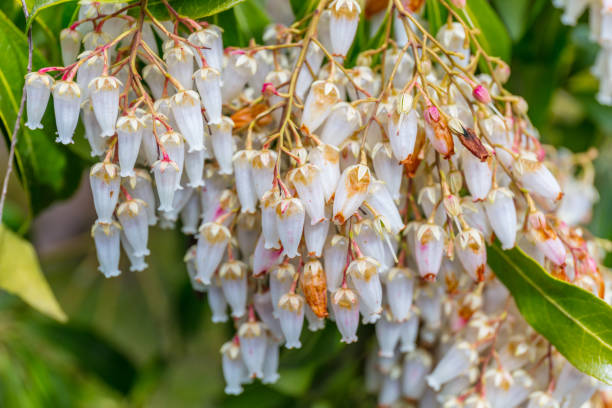 Royalty free pink bell shaped flowers pictures images and stock a macro shot of the white bell shaped flowers of a pieris stock photo mightylinksfo Choice Image