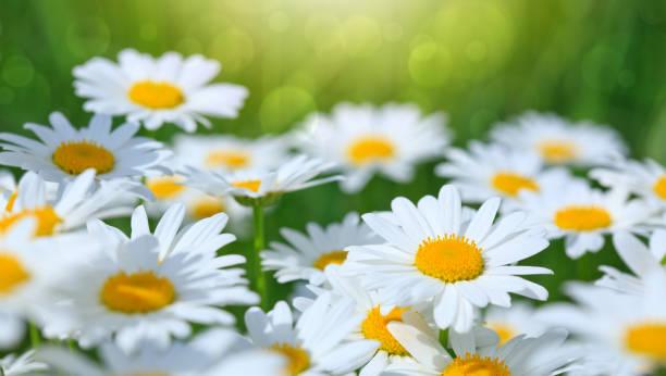 在夏季花園中, 白雛菊的宏觀射擊。 - 雛菊 菊科 個照片及圖片檔