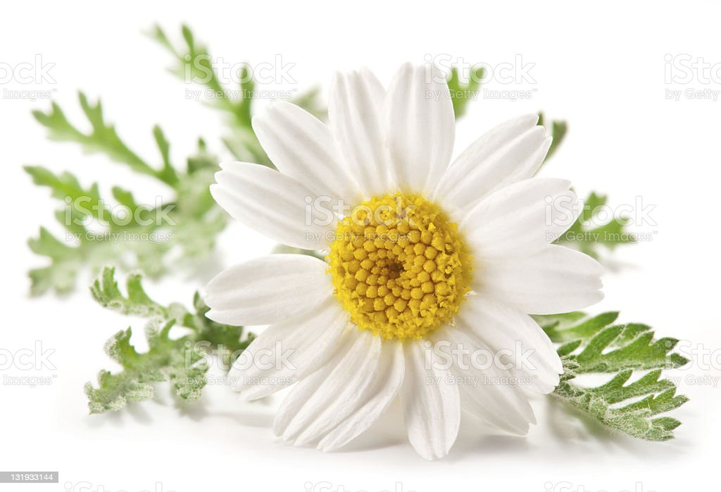 Macro shot of wild camomile over white. stock photo