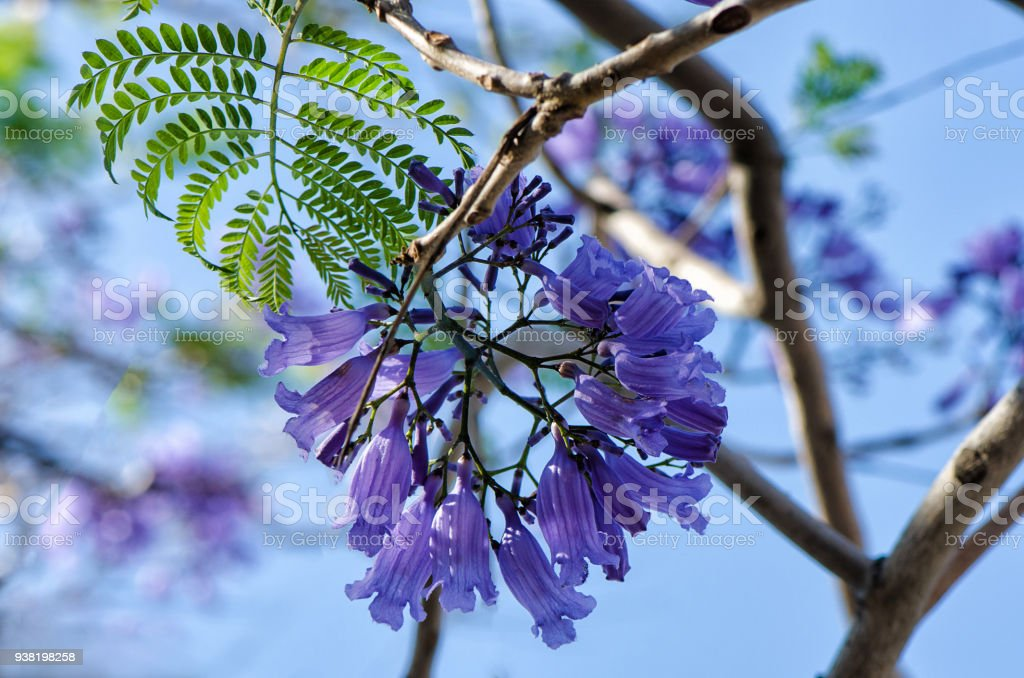 Macro Shot Of Wisteria Flower Buds Stock Photo Download Image