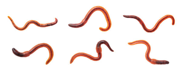 macro shots of red worm dendrobena, earthworm live bait for fishing isolated on white background. - bezkręgowce zdjęcia i obrazy z banku zdjęć