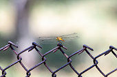 Mayfly (Polingenia longicauda) in the Tisza River