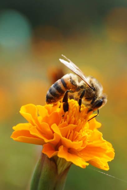 Macro side view of caucasian bee apis mellifera sitting on red flower picture id940018556?b=1&k=6&m=940018556&s=612x612&w=0&h=0nkhm09pf2zkrj9cl0dyabh3k smz6mtmtdk3e6wn k=