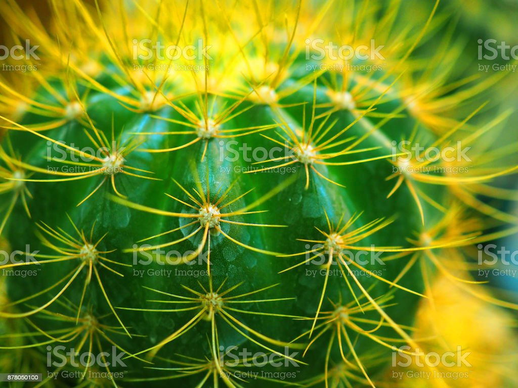 Macro side view young yellow spike Echinocactus grusonii cactus, with water drop stains background stock photo