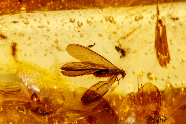Macro stone mineral amber with insects, flies and beetles on a white background close up Macro stone mineral amber with insects, flies and beetles on a white background close up fossilized pitch stock pictures, royalty-free photos & images