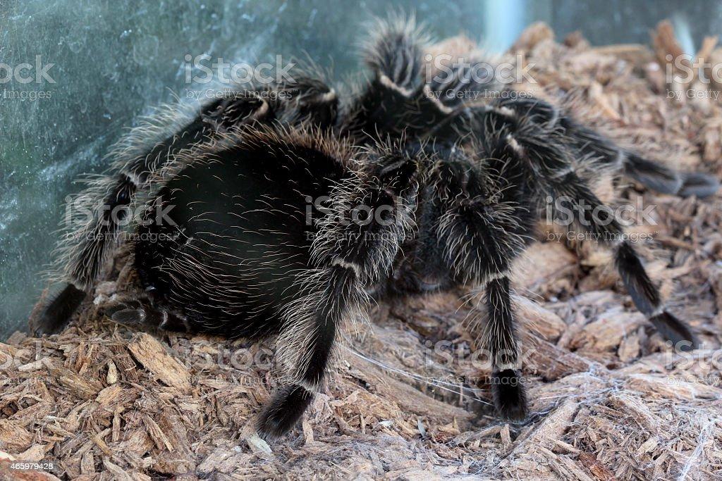 macro tarantula spider on the ground stock photo