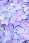 Macro texture of blue colored Hydrangea flowers with water droplets in vertical frame